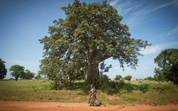 A woman walking on a path in northern Ghana with a large tree behind her. Photo credit: Rowan Griffiths, Daily Mirror.