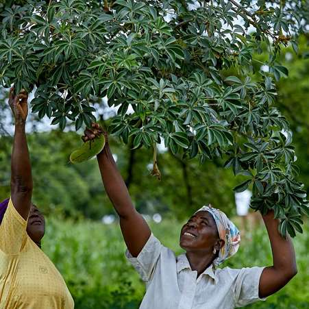 Women in a village in northern Ghana reaching up to pick baobab fruits from the tree.