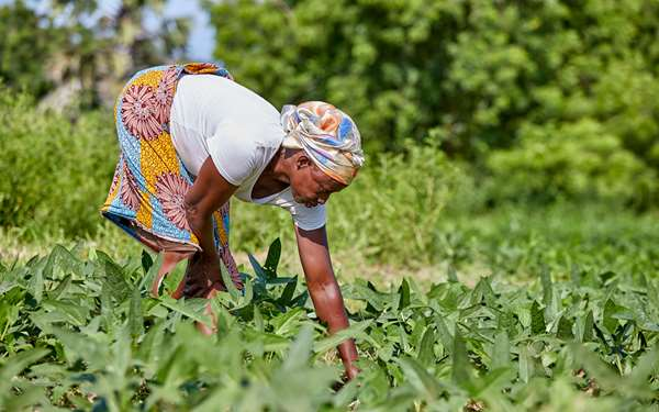 A women in Upper East Ghana tending to crops on her farmland.