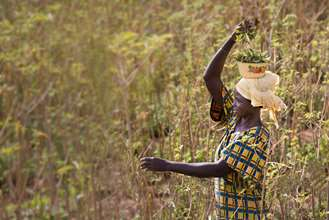 A woman harvesting moringa leaves and collecting them in a bowl on her head.