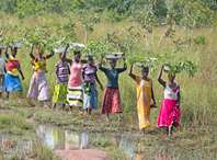 Women in Ghana carrying tree saplings on their heads to a planting site where they will plant them, helping to grow the Great Green Wall. Photo credit: Rowan Griffiths, Daily Mirror.