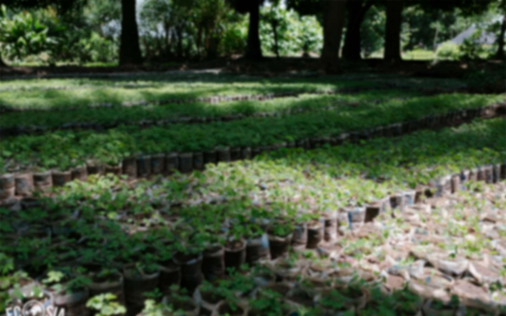 Rows of tree saplings lined up in a tree nursery, ready to be planted along the Daka river through Tree Aid and Ecosia's project in northern Ghana.