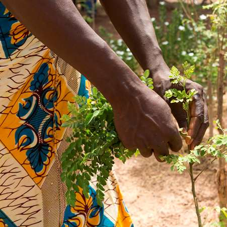 Close up of a woman harvesting leaves from a moringa tree to eat and sell.