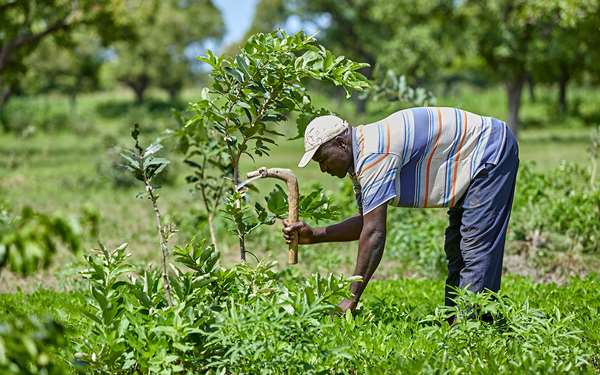A man in northern Ghana is ploughing his farm using techniques he has learned from a Tree Aid project.